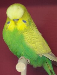 Budgie Varieties With Grey Markings