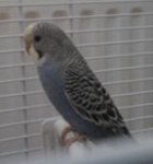 parakeet pictures, mauve normal budgie