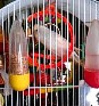 parakeet pictures, budgerigar cage, budgie photo