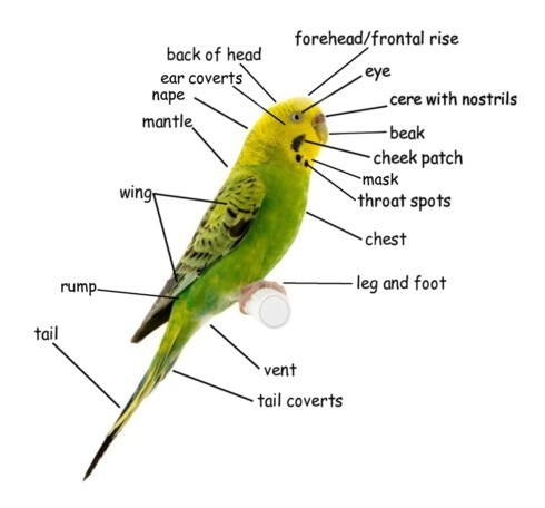 Budgie Body Parts