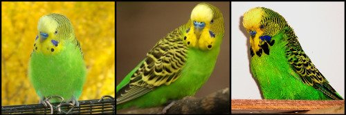 light green budgies
