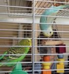 parakeet pictures, pet budgie