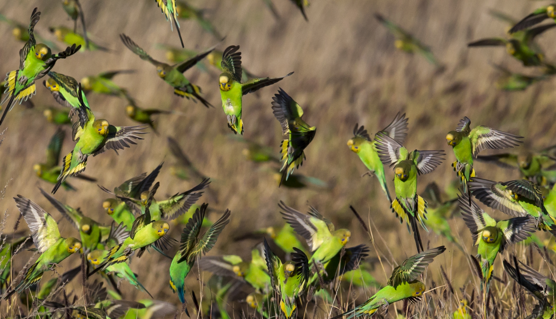 Wild budgies foraging