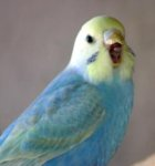 budgie, cobalt, yellow face, greywing, clearwing