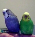 parakeet pictures, pet budgies, budgerigars