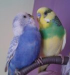 parakeet pictures, budgies cuddling, violet budgie