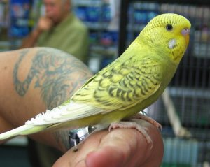 grey green spangle opaline budgie
