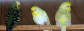 Yellow Faced Albino budgerigars