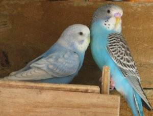 skyblue normal and cobalt spangle opaline budgerigars