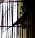 parakeet pictures, budgie silhouette