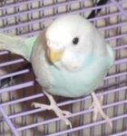 parakeet pictures, skyblue greywing budgie, budgie with dog