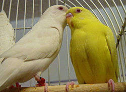 Albino and Lutino budgies