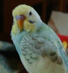 spangle budgies, dominant pied parakeet, yellow face budgie