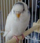 parakeet pictures, Double Factor Dominant Pied budgie