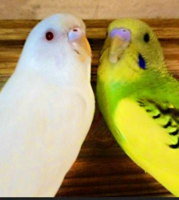 Budgie and bella🐤