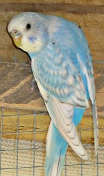 cobalt spangle opaline budgie