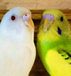 albino budgie, domnant pied parakeet