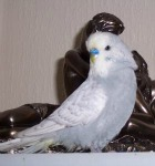 grey spangle budgerigar