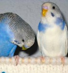 cobalt normal budgerigar, violet pied