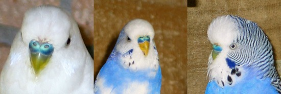 Male budgies ceres