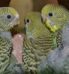 budgie chicks, normal budgerigar chicks