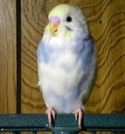 partakeet pictures, violet yellow face budgie