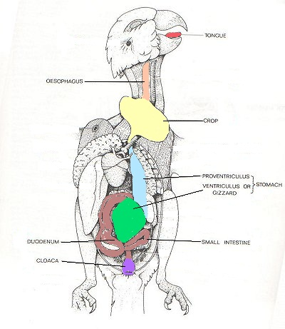 budgie digestive tract