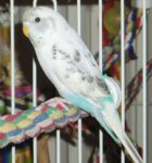 parakeet pictures, skyblue spangle yellow face type 2