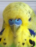 Adult male budgie showing flecking.