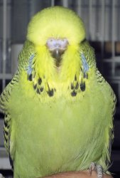 grey green budgerigar