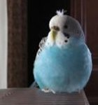 parakeet picture, pet budgie