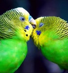 light green budgies preening