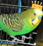 parakeet pictures, light green normal budgie, budgerigar