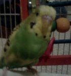 budgie pictures, dark green pied budgerigar