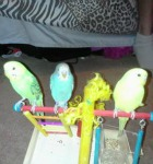 lutino parakeet, skyblue budgie, light green opaline budgerigar