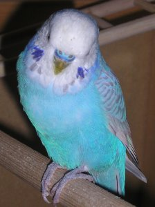 Skyblue opaline clearwing budgerigar