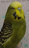 olive budgie
