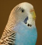 cobalt normal budgie