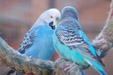 Skyblue Normal and Skyblue Opaline budgies