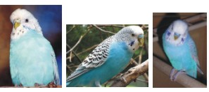 skyblue budgerigar