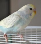 parakeet pictures, budgerigar, yellow face budgie