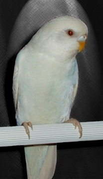 Albino cock, with blue suffusion