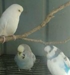 budgies in an aviary