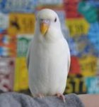 parakeet pictures, budgerigar, albino budgie