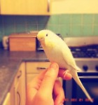 budgie perching on hand