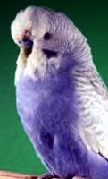 visual violet parakeet