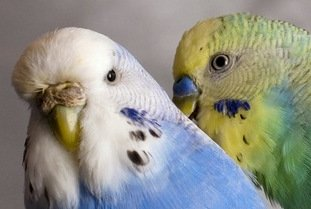 Adult hen and cock budgie preening.