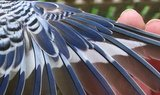 Normal budgie wing stripe.