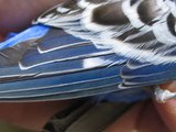 Normal budgie wing