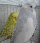 parakeet pictures, spangle budgie, dominant pied parakeet